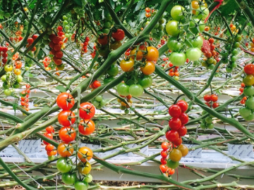 Greenhouse tomato grower gives thumbs up to using IPM to control whitefly